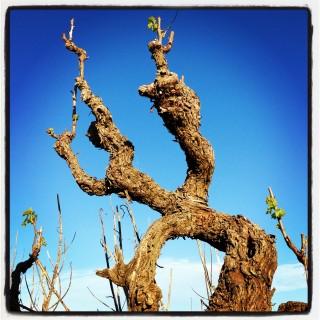 Zdjęcie 23.09.2013 15 47 31 (1) Grenache vine 1889 @ Yalumba nursery